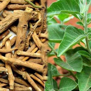 अश्वगंधा:बलवर्धक एवं वात रोगों की विशेष औषधि